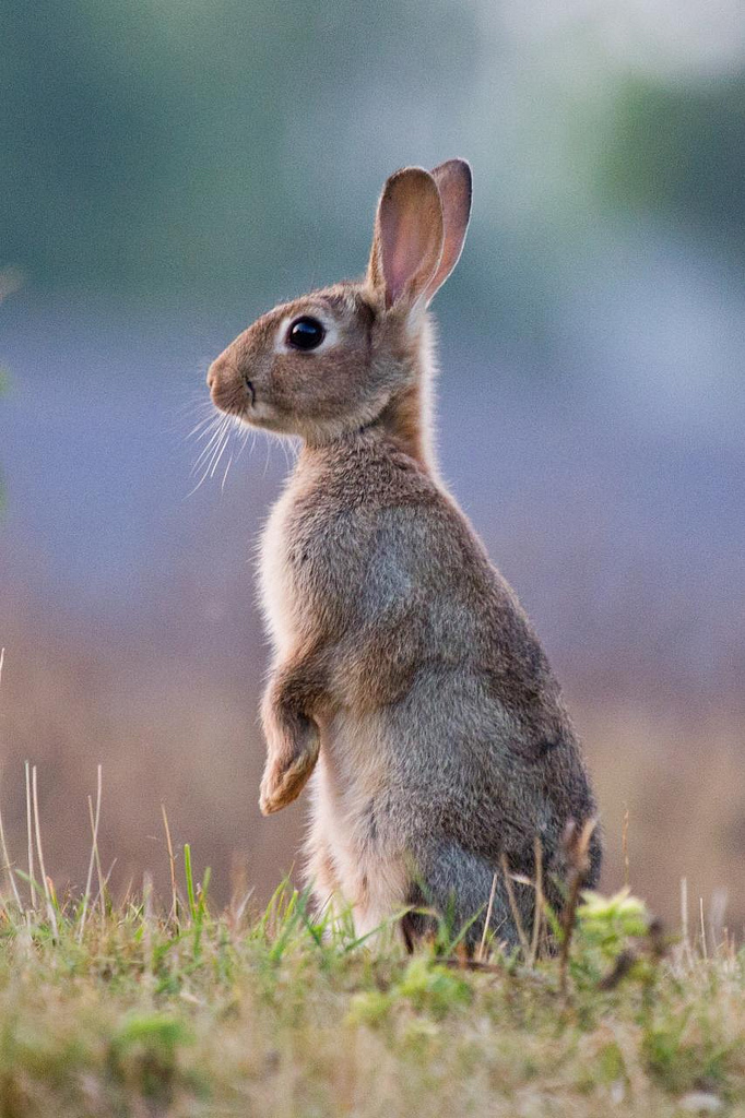 konijn stampt achterpoten