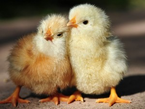 768-baby-chickens-hd-1280x960-1