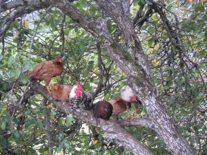Kippen in een boom